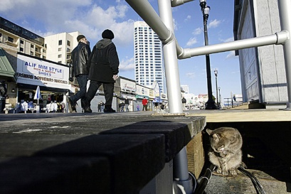 A cat sits in the sun under the boardwalk and grooms itself after a feeding. Most of the people on the boardwalk are unaware of the dozens of cats living below. Photo by David Gard/ The Times of Trenton