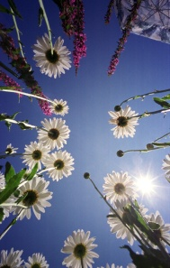 Daisies reach for the sky. Photo by David Gard/ The SandPaper